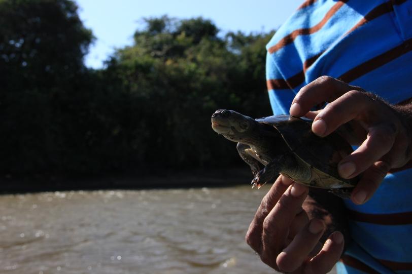 Turtle, Los Llanos.