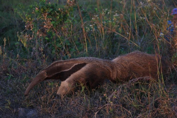 Anteater, Los Llanos