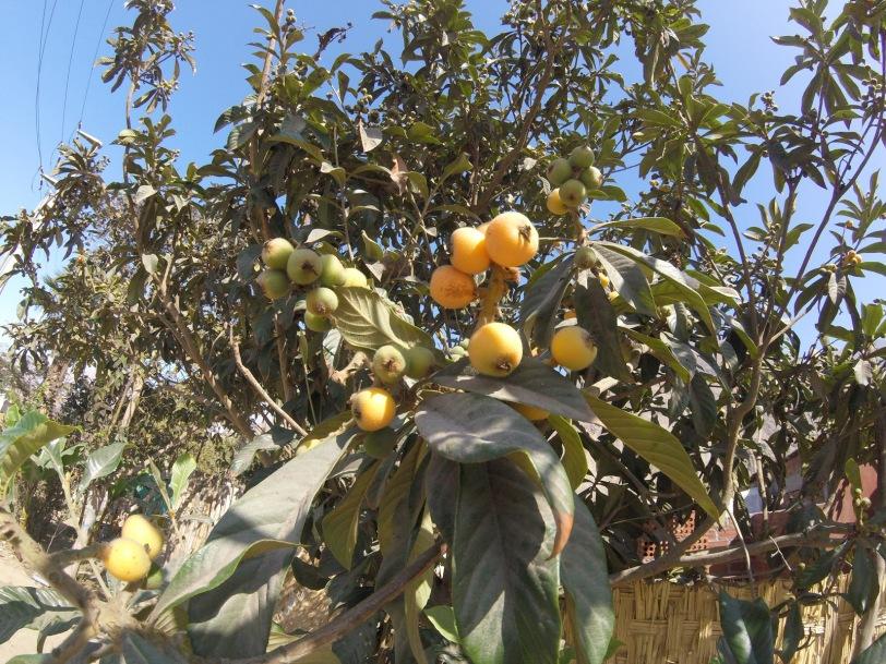 peru-loquats-nispero