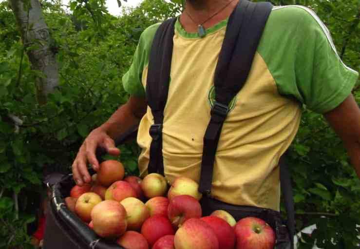 apple-picking-bag
