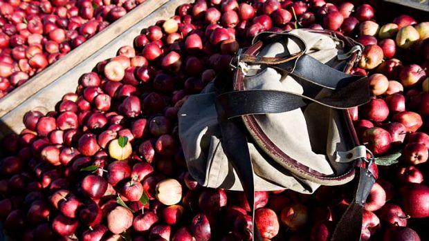 apple picking tasmania